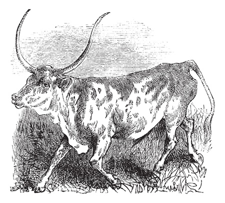 Brazilian, cow, vintage engraved illustration of Brazilian, cow.  Vector