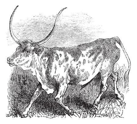 chordata: Brazilian, cow, vintage engraved illustration of Brazilian, cow.