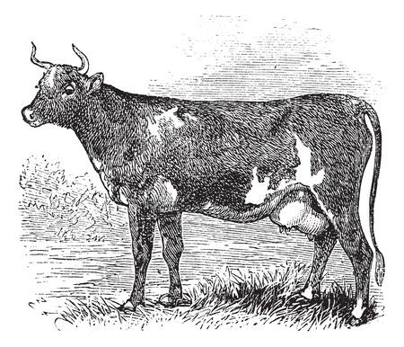 レトロ: エアシャー ・ カニンガムとも呼ばれる、ヴィンテージ ・ エアシャー ・牛のイラスト刻まれています。