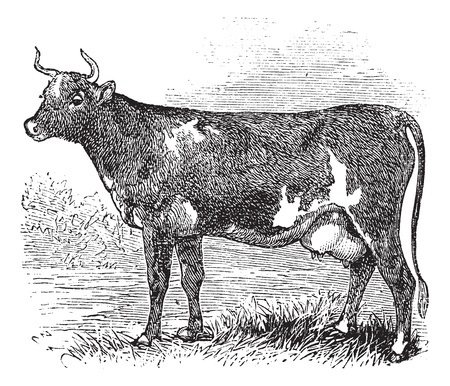 Ayrshire also known as Cunningham, vintage engraved illustration of Ayrshire, cattle.  Vector