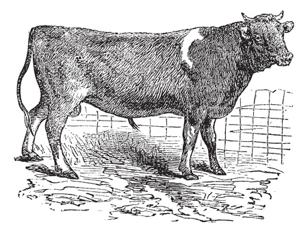 Alderney, cattle, vintage engraved illustration of Alderney, cattle. Stock Vector - 13770960