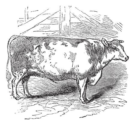 レトロ: 牛肉の短角牛、ダラム、イギリス、短角牛のヴィンテージの刻まれたイラスト、牛、ダラム、イギリス。  イラスト・ベクター素材