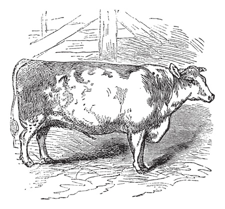 Beef Shorthorn, cattle, Durham, England, vintage engraved illustration of Beef Shorthorn, cattle, Durham, England. Vector