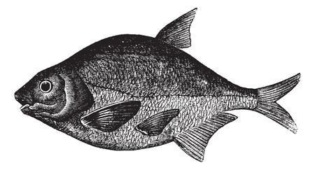 daurade: Br�me commune �galement connu sous le nom Abramis brama, l'eau douce, poissons, vintage illustration grav�e de la br�me commune, d'eau douce, les poissons.
