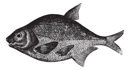 abramis: Common bream also known as Abramis brama, freshwater, fish , vintage engraved illustration of Common bream, freshwater, fish .