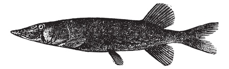 pickerel: Detailed vintage engraving of Chain pickerel (Esox reticulatus or Esox niger ), isolated on white.