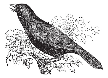 Giant Cowbird also known as Molothrus oryzivorus, bird, vintage engraved illustration of Giant Cowbird, bird.  Stock Illustratie