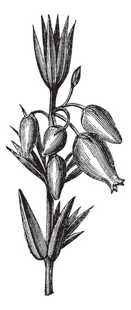 erica: Bell heather also known as Erica cinerea, leaves ,  flowers,  vintage engraved illustration of Bell heather, leaves and flowers  isolated against a white background.