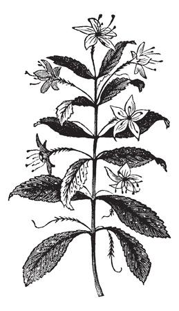 Agathosma crenulata also known as Barosma crenulata, vintage engraved illustration of Agathosma crenulata, plant, leaves, isolated against a white background. Stock Vector - 13767054