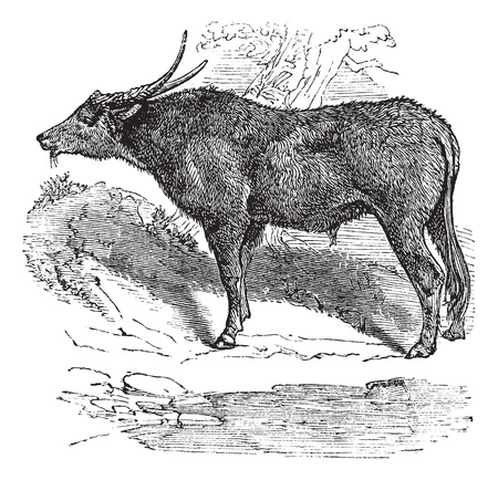 Water buffalo also known as  Bubalus bubalis, buffalo, Indian, vintage engraved illustration of Indian, buffalo, Bubalus bubalis.  Vector
