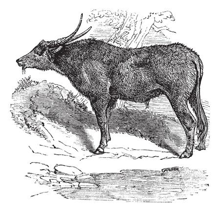 Waterbuffel ook wel bekend als Bubalus bubalis, buffels, Indiase, vintage gegraveerde illustratie van de Indiase, buffels, Bubalus bubalis. Stock Illustratie