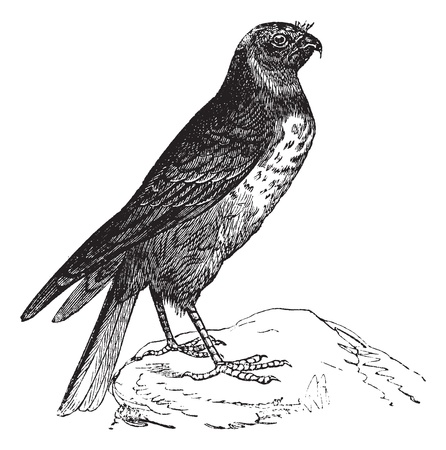 Hen Harrier also known as Circus cyaneus, bird, vintage engraved illustration of Hen Harrier, bird.  矢量图像