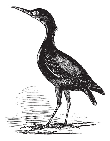 eurasian: Eurasian Bittern also known as Botaurus stellaris, bird, vintage engraved illustration of Eurasian Bittern, bird.
