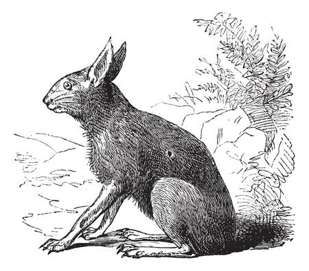 diurnal: Patagonian Mara also known as  Dolichotis patagonum, vintage engraved illustration of Patagonian Mara, rodent.  Illustration