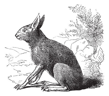 mara: Patagonian Mara also known as  Dolichotis patagonum, vintage engraved illustration of Patagonian Mara, rodent.  Illustration