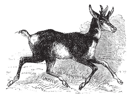 Antilocapra americana, prong buck or prong horn antelope, vintage engraving. Old engraved illustration of an American antelope on the run. Vector