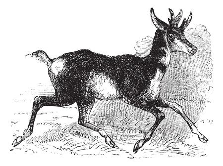 riek: Antilocapra americana, tand buck of riek hoorn antilopen, vintage engraving. Oude gegraveerde illustratie van een Amerikaanse antilope op de vlucht.