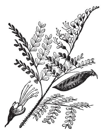 duramen: Caesalpinia echinata, brasil, Pau-Brasil, Pau de la vendimia grabado Pernambuco o Ibirapitanga. Antiguo grabado ilustración de las hojas del árbol palo brasil, flores y frutos. Vectores