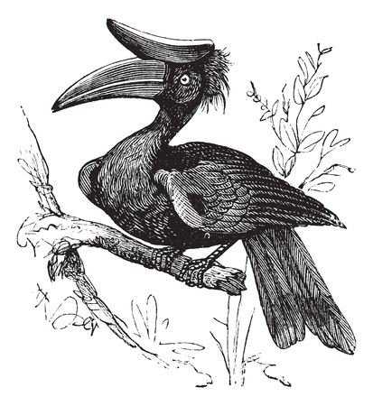 hornbill: Rhinoceros Hornbill or Buceros rhinoceros vintage engraving. Old engraved illustration of a Rhinoceros hornbill bird. perched on a tree branch. Illustration