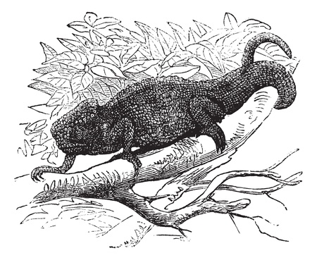 chamaeleo: Chamaeleo Vulgaris or Chamaeleo cinereus or Lacerta Vulgaris vintage engraving, Old engraved illustration of a chameleon on tree branch.