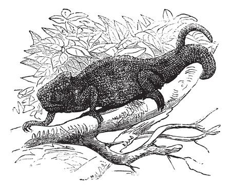 veiled: Chamaeleo Vulgaris or Chamaeleo cinereus or Lacerta Vulgaris vintage engraving, Old engraved illustration of a chameleon on tree branch.
