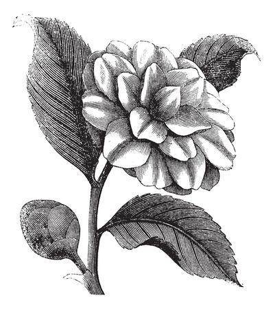 camellia: Camellia japonica o Rose d'inverno o incisione Theaceae vintage. Old illustrazione incisa una bella Camellia Flower Vettoriali