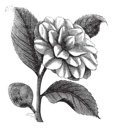 Camellia Japonica or Rose of winter or Theaceae vintage engraving. Old engraved illustration of a beautiful Camellia Flower Vector