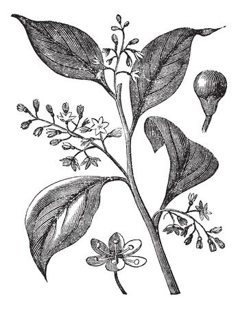 an inflorescence: Camphrier officinal or Camphora officinarum or Medicinal plant vintage engraving. Old engraved illustration of camphor tree leaves and flowers.