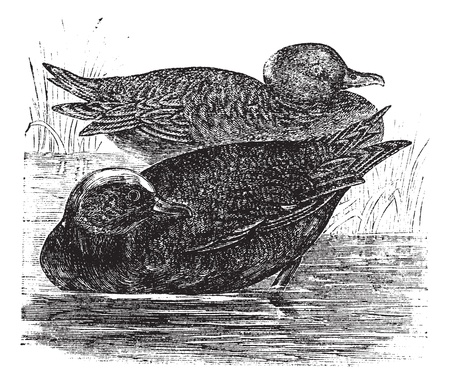 dabbling: Wigeon  or Anas americana vintage engraving. Old engraved illustration of beautiful dabbling ducks.