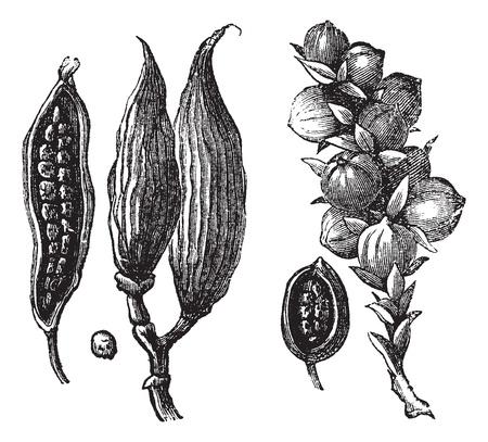 condimentos: Ceylan el cardamomo y el cardamomo grabado ronda de la vendimia. Ilustraci�n del Antiguo grabado de las vainas de cardamomo con semillas.