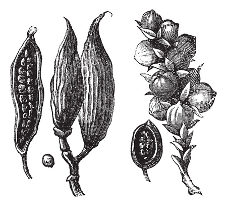 Ceylan cardamom and cardamom round vintage engraving. Old engraved illustration of cardamon pods with seeds. Stock Illustratie