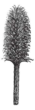 Flower and head of a teasel Fuller or flower and head of Dipsacus fullonum vintage engraving. Old engraved illustration of dipsacus fullonum.