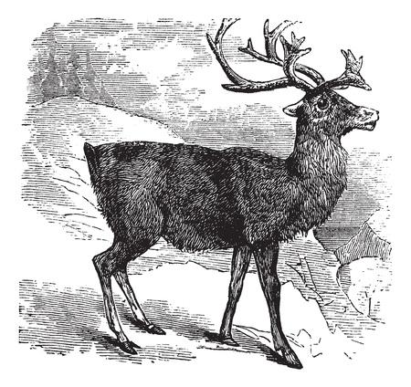 Caribou or Reindeer or Rangifer tarandus vintage engraving. Old engraved illustrationg of Caribou. Иллюстрация