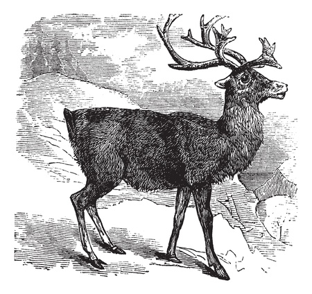 Caribou or Reindeer or Rangifer tarandus vintage engraving. Old engraved illustrationg of Caribou. Vector