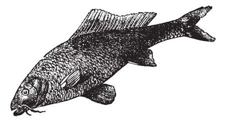 common carp: Cyprinus carpio or common carp or freshwater fish vintage engraving. Old engraved illustration of Cyprinus carpio. Illustration