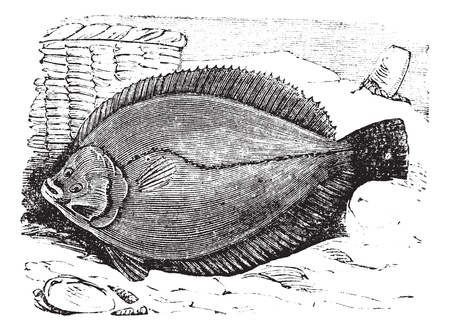 plaice: Plaice or Flounder frank or flatfish vintage engraving. Old engraved illustration of plaice.