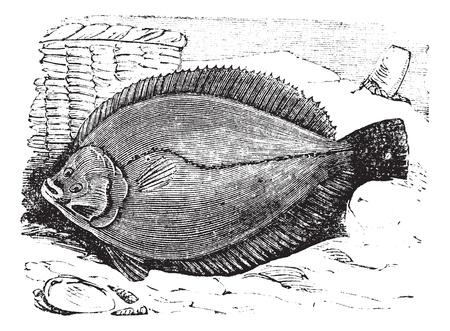 plaice: Plaice or Flounder frank or flatfish vintage engraving. Old engraved illustration of plaice.