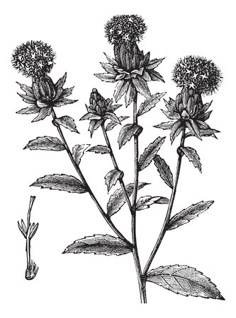 saffron: Carthamus tinctorius or safflower or false saffron vintage engraving. Old engraved illustration of safflower plant.