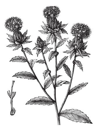 false: Carthamus tinctorius or safflower or false saffron vintage engraving. Old engraved illustration of safflower plant.