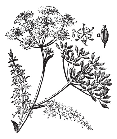 fennel: La alcaravea, o Carum carvi o hinojo meridiano o el grabado de comino persa de la vendimia. Ilustraci�n del Antiguo grabado de la planta de alcaravea.