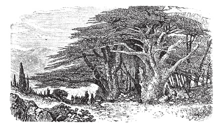 cedar: Lebanese cedar or Cedrus libani vintage engraving. Old engraved illustration of Lebanese cedar tree with a group of man standing beneath it.