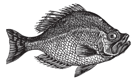 レトロ: Centrarchus へまたはロック ベース魚ビンテージ彫刻。古い彫刻、Centrarchus への図。