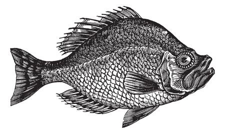 vis: Centrarchus aeneus of rock bas vis vintage graveren. Oude gegraveerde illustratie van Centrarchus aeneus.