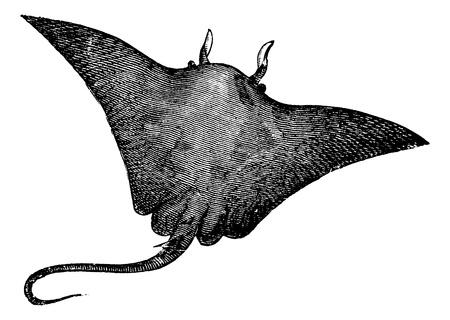 マンタ、イトマキエイ、オニイトマキエイまたは Cephalopterus vampyrus レイ。白い背景に対して隔離されるマンタの古い刻まれたイラストです。