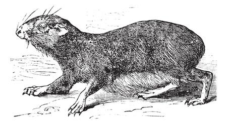 gnawer: Kerodon rupestris or cavy vintage engraving. Old engraved illustration of Kerodan rupestris.
