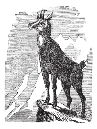 Chamois, Rupicapra rupicapra, or Antilope rupicapra vintage engraving. Old engraved illustration of a Chamois. Çizim