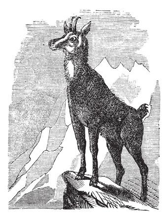 mountain goat: Chamois, Rupicapra rupicapra, or Antilope rupicapra vintage engraving. Old engraved illustration of a Chamois. Illustration