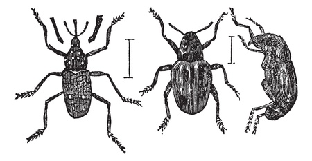 weevils: Weevil or Curculionoidea, vintage engraving. Old engraved illustration of typical Weevils showing a long (left) or short (center and right) snouts. Illustration