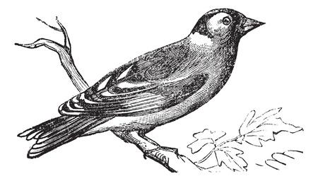 Finch of Fringilla sp., Vintage graveren. Oude gegraveerde afbeelding van een Finch neergestreken op een tak.
