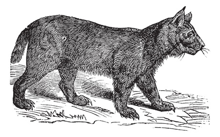 Lynx or Bobcat or Lynx lynx or Lynx canadensis or Lynx pardinus or Lynx rufus, vintage engraving. Old engraved illustration of a Lynx. Vector